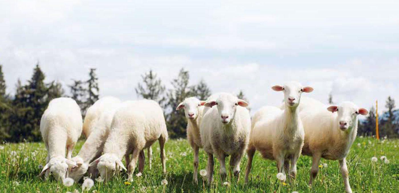 Laine-de-moutons-2